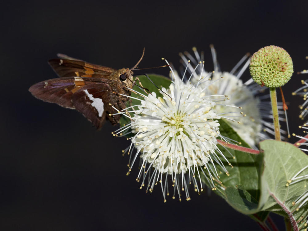 Hulse Silversided skipper on Buttonbush