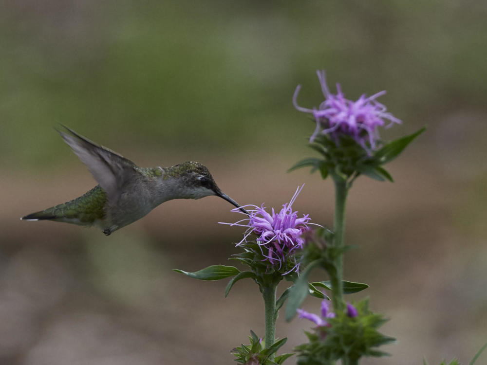 Hulse hummingbird and Liatris