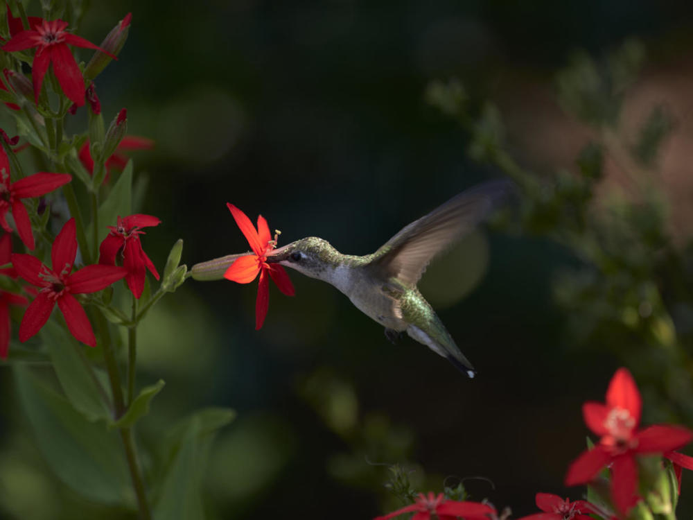 Hulse hummingbird on Royal catchfly