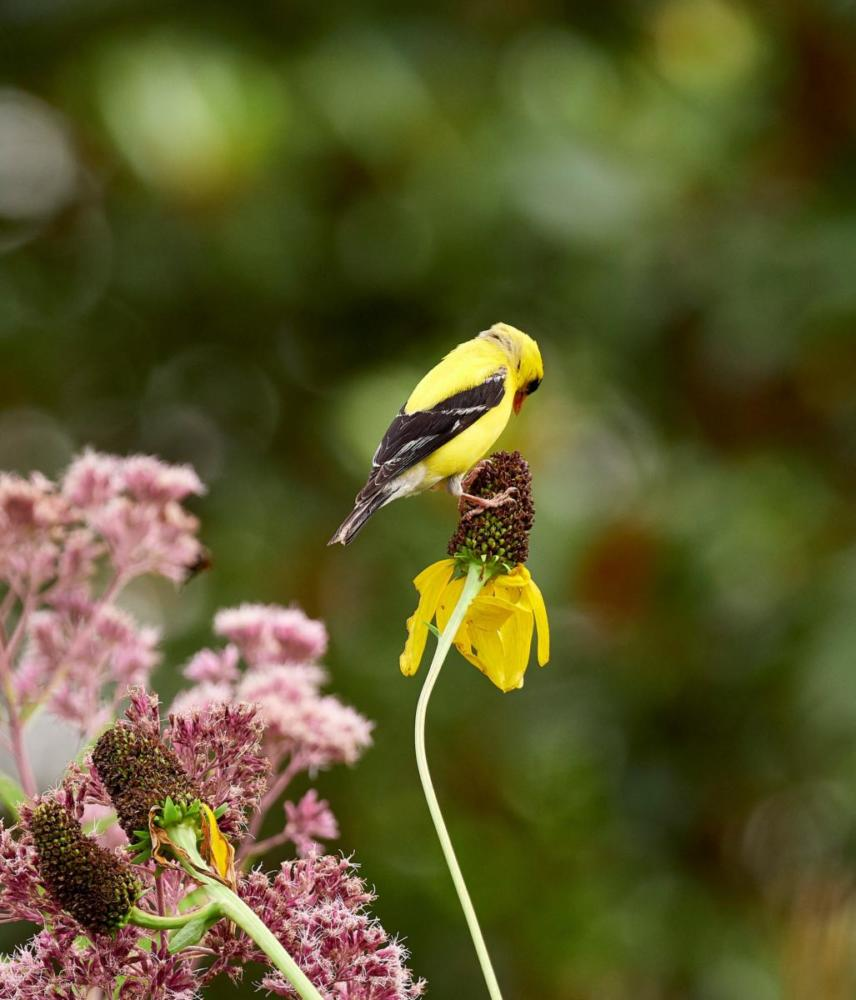 Hulse Goldfinch on Giant coneflower