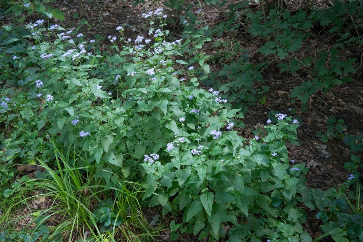 Mistflower September